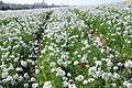 The Flower Fields at Carlsbad Ranch 91 2014-04-28.jpg