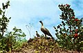 The Hawaiian goose or nene, pronounced nay-nay was orginally very abundant on the islands of Maui... (NBY 3199).jpg