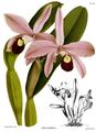 The Orchid Album-02-0039-0060-Laelia perrinii.png
