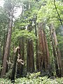 The Redwoods of Muir Woods.JPG