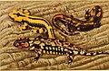 The anatomy of the salamander (1934) (18008408549).jpg