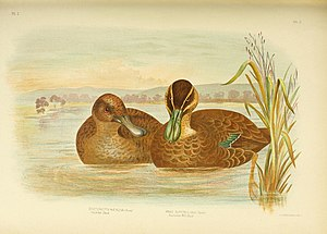 Freckled duck - Illustration from The Birds of Australia (1890)