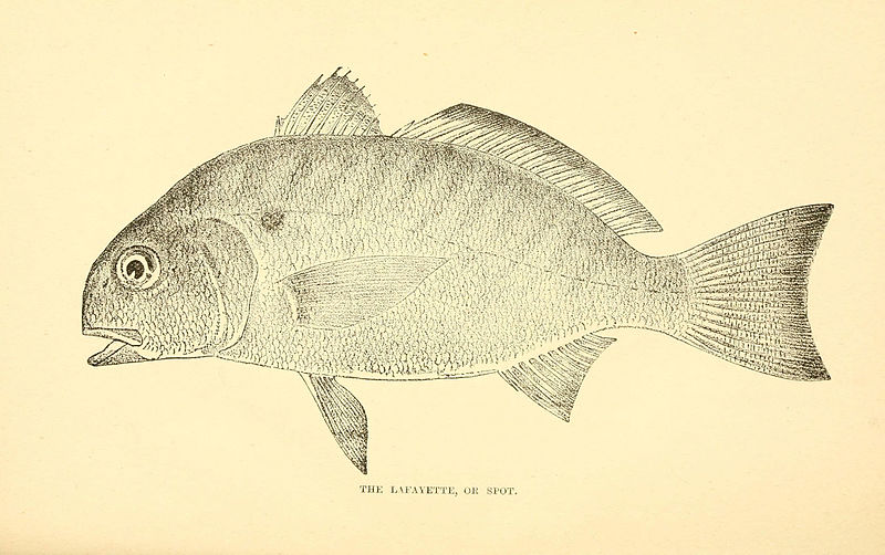 File:The fishes of the east Atlantic coast (Plate 17) (6801176409).jpg