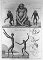 The orang outang of Dr. Tulpius & other apes Wellcome L0030021.jpg