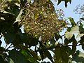 Theekk (Malayalam- തേക്ക്) (3522273348).jpg