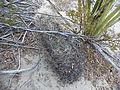 Thelocactus bicolor (5658183193).jpg