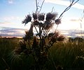 "Thistle says ""Done this summer"" (36433429645).jpg"