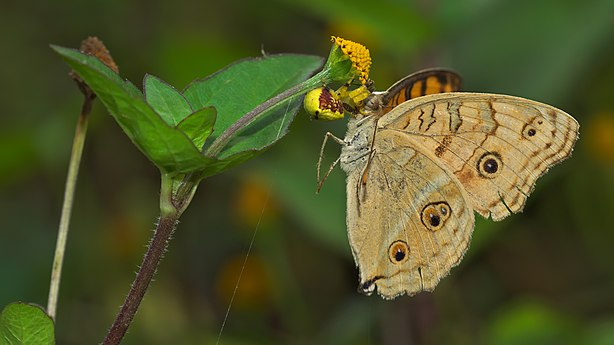 Thomisidae feeding Junonia almana on Acmella ciliata-Kadavoor-2015-08-21-001.jpg