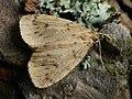 Thumatha senex - Round-winged muslin - Печёночница (25991549167).jpg