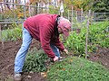 Thyme to harvest (8093416466).jpg