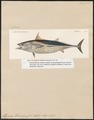 Thynnus thunnina - 1700-1880 - Print - Iconographia Zoologica - Special Collections University of Amsterdam - UBA01 IZ13500202.tif