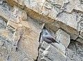Tichodrome échelette Tichodroma muraria aDSC 1045a (51082160801).jpg
