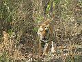 Tiger Sasaram.jpg