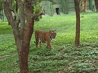 Tiger in Mysore Zoo.JPG