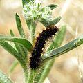 Tiger moth caterpillar on Cryptantha - Flickr - treegrow (2).jpg