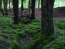 Clumps of moss on the ground and base of trees in the Allegheny National Forest, Pennsylvania, USA.
