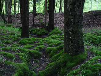 Moss - Clumps of moss on the ground and base of trees in the Allegheny National Forest, Pennsylvania, USA.