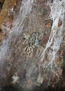 <i>Heteroscodra</i> Genus of spiders