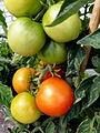 Tomate Rheinlands Ruhm P1020476.JPG