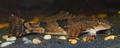 Torrentfish.png