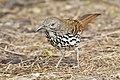 Toxostoma longirostre -Laguna Atascosa National Wildlife Refuge, Texas, USA-8.jpg