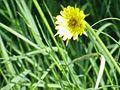 Tragopogon pratense7.jpg