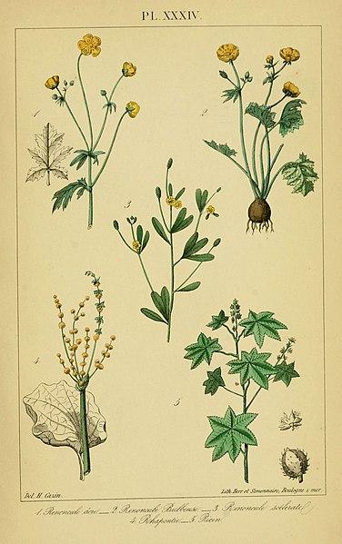 File:Traité pratique et raisonné des plantes médicinales indigènes (Pl. XXXIV) (6459826859).jpg