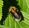 Tree Bee, male. Bombus hypnorum - Flickr - gailhampshire.jpg