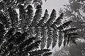 Tree Fern (15061277455).jpg