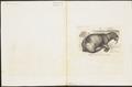 Trichechus rosmarus - 1700-1880 - Print - Iconographia Zoologica - Special Collections University of Amsterdam - UBA01 IZ21100016.tif