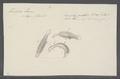 Trichoda larus - - Print - Iconographia Zoologica - Special Collections University of Amsterdam - UBAINV0274 113 15 0059.tif