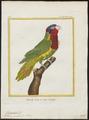 Trichoglossus ornatus - 1700-1880 - Print - Iconographia Zoologica - Special Collections University of Amsterdam - UBA01 IZ18500219.tif
