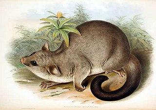 Brushtail possum Genus of marsupials