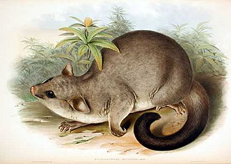 Brushtail possum - Common brushtail possum by John Gould, 1863