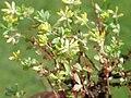 Trifolium dubium522.JPG