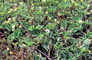 Trifolium subterraneum - Image: Trifoliumsubterraneu m