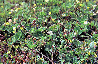 <i>Trifolium subterraneum</i> species of plant