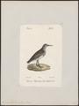 Tringa platyrhyncha - 1842-1848 - Print - Iconographia Zoologica - Special Collections University of Amsterdam - UBA01 IZ17400239.tif