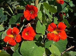Description de l'image Tropaeolum_majus.JPG.