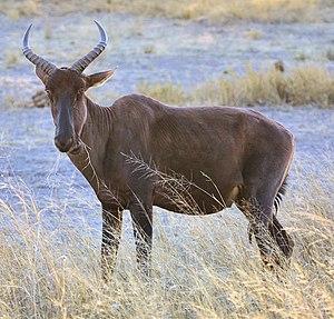 Common tsessebe - Tsessebe in Botswana