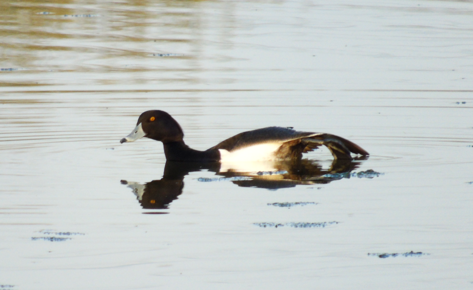 Tufted Duck at Newport Wetlands RSPB Reserve Visitor Centre