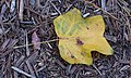 Tulip Tree Leaf - Winter NBG.jpg