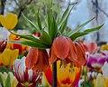 Tulip Upside Down (18248249255).jpg