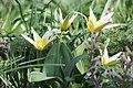 Tulipa berkariense 02.jpg