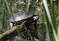 Turtle of some kind (33517844490).jpg