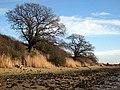 Twin oaks on Erwarton beach - geograph.org.uk - 660643.jpg