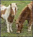 Two Shetland Ponies behind the fence-1 (20430490608).jpg
