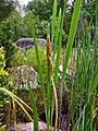 Typha latifolia - Broadleaf Cattail.jpg
