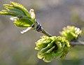 Ulmus pumila with green fruits 3.jpg