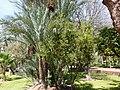 Un grenadier dans une palmeraie.jpg